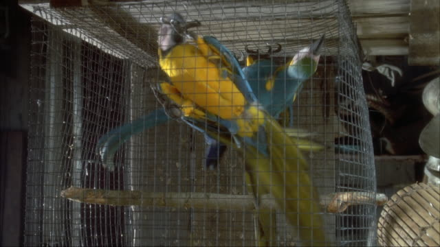 CLOSE ANGLE OF THREE PARROTS IN CAGE. THEY BEGIN TO SQUAWK AND FLY TO TOP OF CAGE, TRYING TO ESCAPE, PROBABLY FROM PREDATOR. NEG CUT.