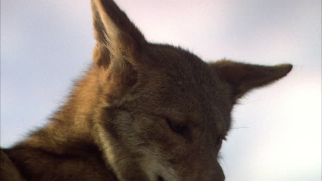 CLOSE ANGLE OF FACE OF LIGHT BROWN TAN OF WOLF OR COYOTE. BROOM STICK NUDGES WOLF'S SIDE AND CHIN FROM RIGHT.