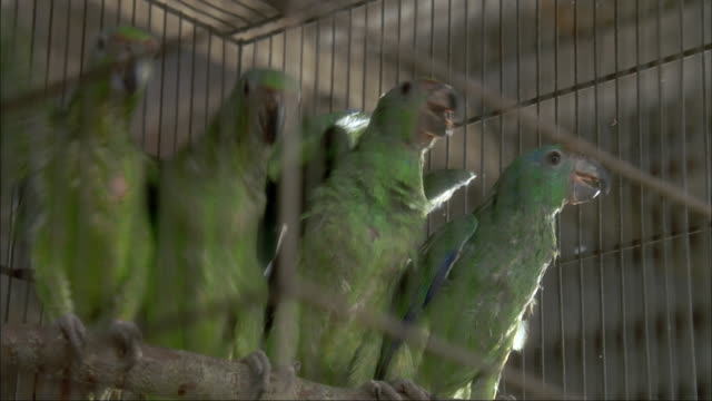 CLOSE ANGLE OF FOUR GREEN CHEEKED AMAZON BIRDS IN CAGE. THEY BEGIN TO SQUAWK AND FLY TOWARDS SIDES. NEG CUT.