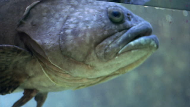 CLOSE ANGLE OF LARGE BLUISH GRAY FISH PUSHING FACE AGAINST GLASS OF FISH TANK. SEE TOP OF WATER.