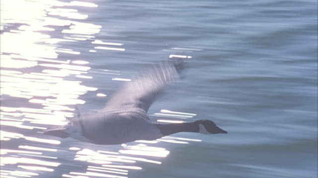 CLOSE ANGLE TRACKING SHOT OF HANDFUL OF GEESE FLYING CLOSELY ABOVE SURFACE OF LAKE OR BODY OF WATER TO RIGHT.