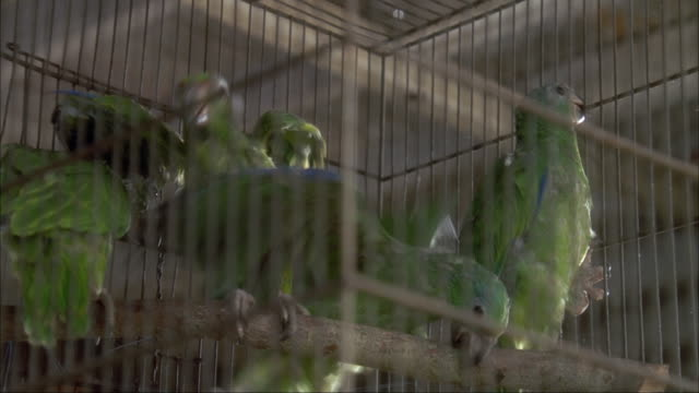 CLOSE ANGLE OF FOUR GREEN CHEEKED AMAZON BIRDS IN CAGE. SOME FLAP THEIR WINGS.