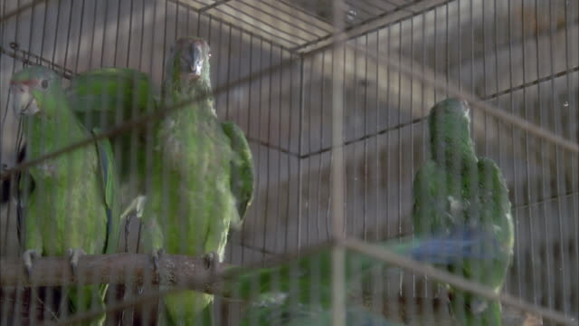 CLOSE ANGLE OF THREE GREEN CHEEKED AMAZON BIRDS IN CAGE.