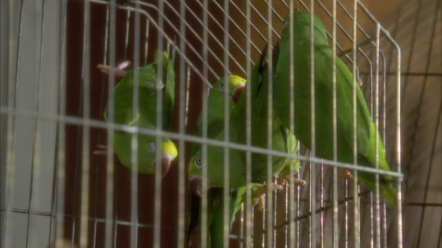 MEDIUM ANGLE OF SEVERAL GREEN PARROTS INSIDE OF A METAL WIRE CAGE. SEE PARROTS HANGING ONTO SIDES OF CAGE AND ONTO PERCH. SEE PARROTS RESTLESS AND CONSTANTLY MOVING IN CAGE. THEN SEE HAND BANG AGAINST CAGE AT VERY END. NEG CUT.