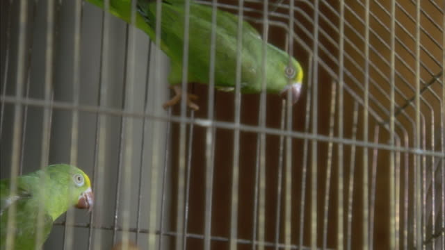 MEDIUM ANGLE OF SEVERAL GREEN PARROTS INSIDE OF A METAL WIRE CAGE. SEE PARROTS HANGING ONTO SIDES OF CAGE AND ONTO PERCH. SEE PARROTS BECOME DISTURBED AS CAGE RUMBLES FROM SOMEONE OFF SCREEN BANGING SIDE OF CAGE. NEG CUT.