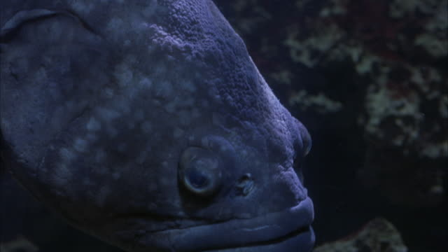 MEDIUM ANGLE OF LARGE BLUISH GRAY FISH PUSHING FACE AGAINST GLASS OF FISH TANK. SEE TOP OF WATER. SEE LIGHT RAYS SHINING THROUGH WATER. SEE FISH SWIM TO BOTTOM OF TANK. SEE ROCKS ON TANK BOTTOM.