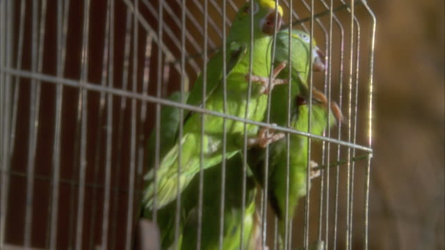 MEDIUM ANGLE OF SEVERAL GREEN PARROTS INSIDE OF A METAL WIRE CAGE. SEE PARROTS HANGING ONTO SIDES OF CAGE AND ONTO PERCH. SEE PARROTS BECOME RESTLESS AND MOVE AROUND INSIDE CAGE AS HAND BANGS AGAINST SIDE OF CAGE SEVERAL TIMES. NEG CUT.