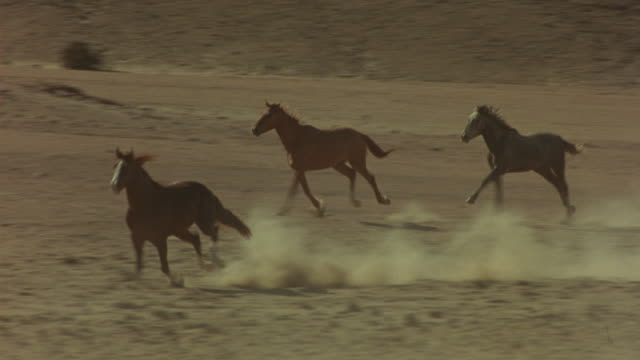 MEDIUM ANGLE OF HERD OF HORSES RUNNING THROUGH THE DESERT. SEE DUST RISING FROM THE GROUND AS THE HERD RUNS PAST ROCKS. SEE WHITE STRIPES DOWN THE NOSES OF THE HORSES.