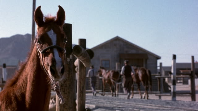 MEDIUM ANGLE OF BROWN FOAL OR HORSE TIED TO WOODEN FENCE POST. SEE HALTER ON HORSE. SEE OTHER HORSES WITH MEN IN BACKGROUND. COULD BE IN A SMALL DESERT TOWN.