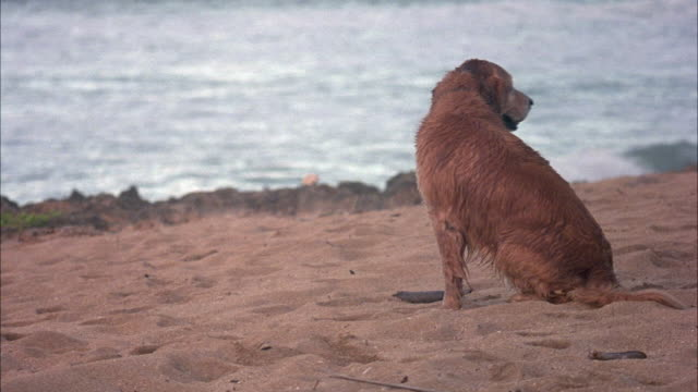 MEDIUM ANGLE OF A WET GOLDEN RETRIEVER DOG SITTING BY THE BEACH LOOKING OVER HIS SHOULDER. OUT OF FOCUS WAVES CRASH IN BACKGROUND. SEE SAND AND ROCKS BETWEEN DOG AND OCEAN. DOG STANDS AND WALKS OFF FRAME RIGHT.