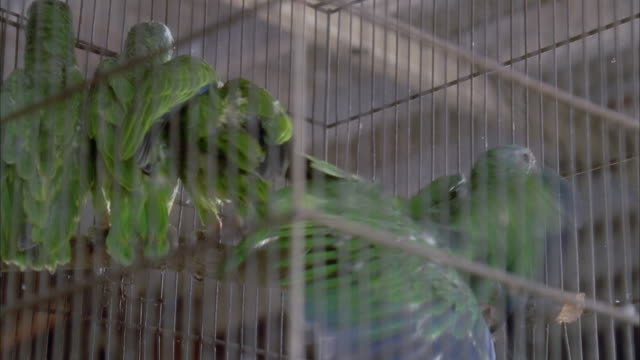 CLOSE ANGLE OF FOUR OR FIVE GREEN CHEEKED AMAZON BIRDS IN CAGE. BIRDS TRY TO FLY TO TOP IN PANIC.
