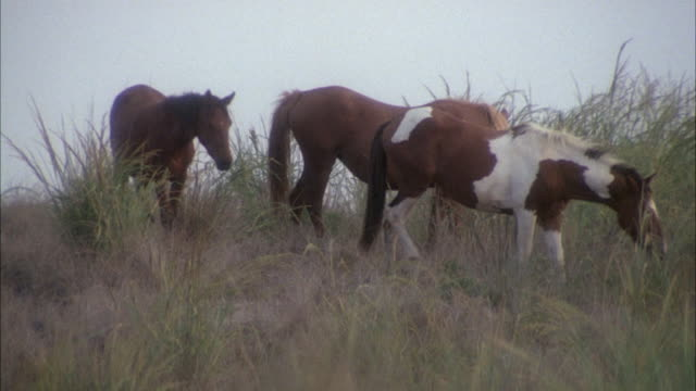MEDIUM ANGLE OF HERD OF HANDFUL OF HORSES ON PASTURE EATING GRASS.