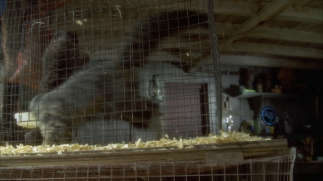 MEDIUM ANGLE OF TWO MONKEYS IN CAGE INSIDE BUILDING. ONE MONKEY DOING BACKWARDS FLIPS OR SOMERSAULTS. PANS DOWN TO SEE PARROTS IN CAGE BELOW.