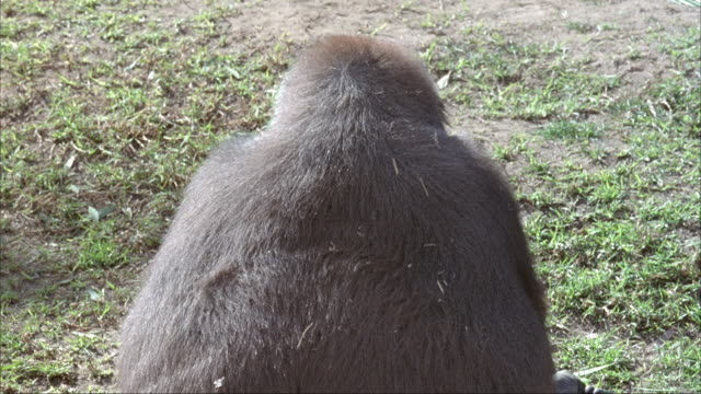 CLOSE ANGLE OF LARGE GORILLA WALKING ON ALL FOUR LIMBS FROM LEFT TO RIGHT ON GROUND. GORILLA STOPS AND SITS WITH BACK TO CAMERA. PANS RIGHT TO ANOTHER GORILLA STANDING AROUND ROCKS.