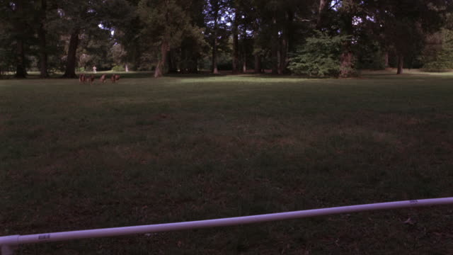 WIDE ANGLE OF PACK OF GERMAN SHEPHERD DOGS RUNNING THROUGH GRASSY PARK OR LARGE YARD. DOGS STOP AT PVC PIPE ACROSS LAWN, LOOK AROUND AS IF FOR TREATS. MAN'S HAND SEEN, COULD BE USED FOR TRAINING GUARD DOGS. ANIMALS.