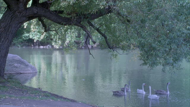 MEDIUM ANGLE OF EDGE OF LAKE OR POND WITH HANDFUL OF SWANS FLOATING ON WATER SURFACE. THICK TREE ON LEFT, SWANS ARE UNDER SHADE OF TREE.