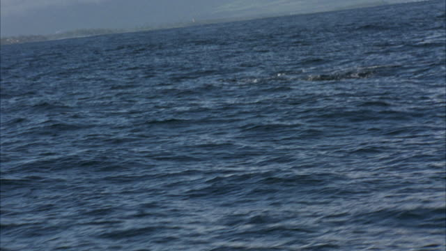 HAND HELD FROM BOAT OF GROUP OF WHALES SWIMMING ALONG OCEAN WATER'S SURFACE NEAR HAWAII COASTLINE. SEE WHALE'S BACK AND DORSAL FIN. WHALES EMERGE THEN DROP BACK IN WATER AS THEY SWIM RIGHT TO LEFT.