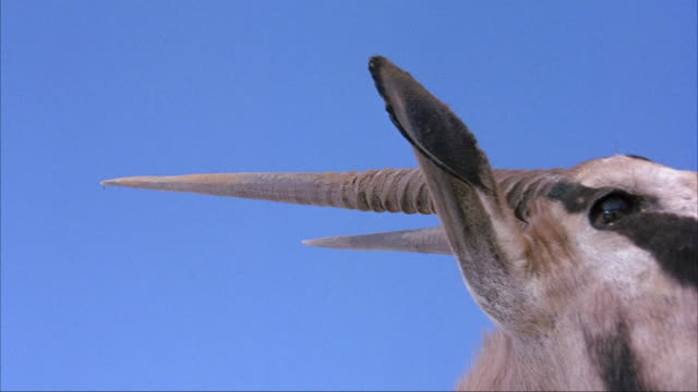 CLOSE ANGLE OF ORYX HEAD. SEE ORYX CHEWING AND LOOKING AROUND. SEE ANTLERS OR HORNS. SEE SKY IN BACKGROUND.