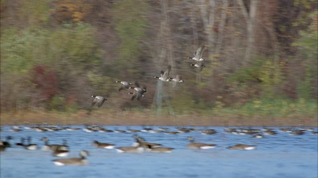 MEDIUM ANGLE OF HANDFUL OF GEESE FLYING TO LEFT OFF LAKE SURFACE. FLOCK OF GEESE ON LAKE SURFACE, AUTUMN TREES IN BACKGROUND.