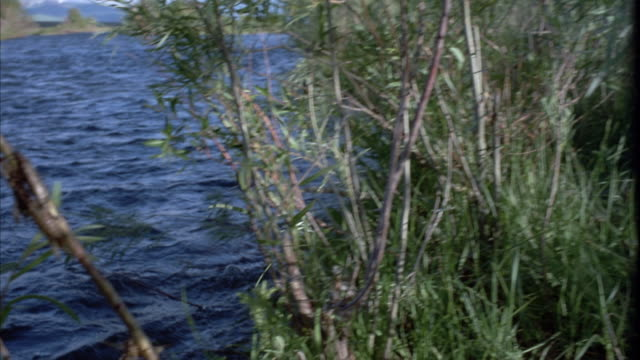 PAN RIGHT TO LEFT FROM GRASS ON RIVER BANK TO DRAGONFLIES ON REEDS OR BRANCHES. RIVER OR STREAM MOVES AT LEFT, CURRENT IS TOWARDS FRAME.