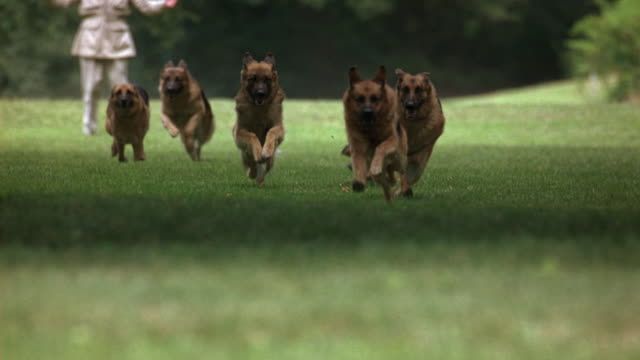 WIDE ANGLE OF PACK OF GERMAN SHEPHERD DOGS RUNNING THROUGH GRASSY PARK OR LARGE YARD TOWARDS CAMERA. MAN IN SAFARI OUTFIT SEEN IN BACKGROUND RAISING ARMS, COULD BE TRAINER. COULD BE GUARD DOGS CHASING INTRUDER ON GROUNDS OF LARGE ESTATE. ANIMALS. 120 FPS.