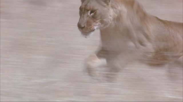 MEDIUM ANGLE OF TWO ANIMAL TRAINERS LETTING LIONESS OUT OF CAGE. CAMERA TRACKS LION AS SHE RUNS RIGHT TO LEFT IN A STRAW FIELD. SEE LIONESS HUNTING SMALL ANIMAL PREY, COULD BE RABBIT, IN JAWS AND WALK BACK SLOWLY FRAME RIGHT.
