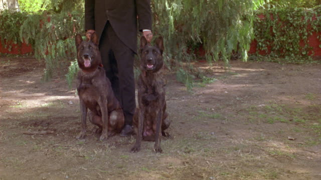 MEDIUM ANGLE OF MAN IN BLACK SUIT HOLDING TWO LEASHES ATTACHED TO TWO GERMAN SHEPHERD DOGS. SEE DOGS BEGIN BARKING AND JUMP TOWARD CAMERA AS IF EAGER TO ATTACK. GUARD DOGS. ATTACK DOGS. COULD BE DUTCH SHEPHERDS.