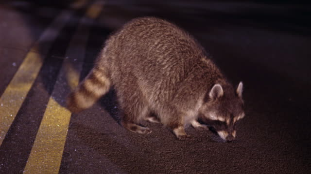 CLOSE ANGLE OF RACCOON IN CENTER OF COUNTRY ROAD, FREEWAY, OR HIGHWAY. LIT UP BY CAR HEADLIGHTS. ANIMAL IS EATING SOMETHING FOUND IN ROAD.