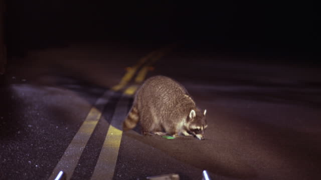 MEDIUM ANGLE OF RACCOON IN CENTER OF COUNTRY ROAD, FREEWAY, OR HIGHWAY. LIT UP BY CAR HEADLIGHTS. ANIMAL IS EATING SOMETHING FOUND IN ROAD.