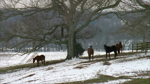 MEDIUM ANGLE OF FARM OR COUNTRYSIDE. SEE FOUR HORSES GRAZING. SNOW ON GROUND.