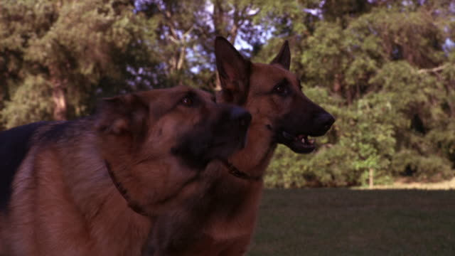 MEDIUM ANGLE OF TWO GERMAN SHEPHERD DOGS STANDING IN PARK OR GROUNDS OF LARGE ESTATE BARKING AND SNAPPING. TREES, LAWN IN BACKGROUND. COULD BE GUARD DOGS. ANIMALS.