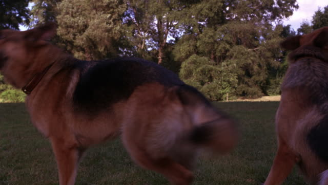 MEDIUM ANGLE OF TWO GERMAN SHEPHERD DOGS STANDING IN PARK OR GROUNDS OF LARGE ESTATE. DOGS BEGIN TO BARK AND SNAP. COULD BE GUARD DOGS. TREES, LAWN IN BACKGROUND. ANIMALS.