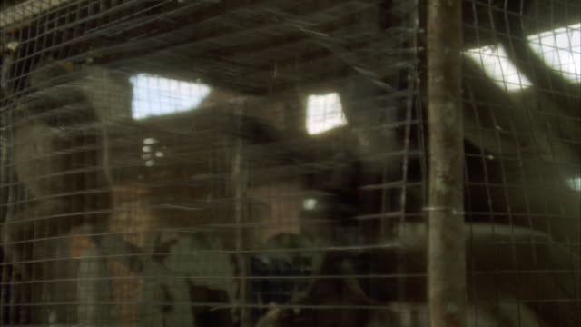 CLOSE ANGLE OF THREE MONKEYS IN A CAGE. ONE MONKEY CLUTCHES WIRE AND PULLS VIOLENTLY BACK AND FORTH MULTIPLE TIMES. SEE MONKEYS CLING TO CAGE AND PEER OUT.