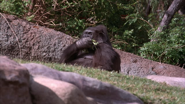 MEDIUM ANGLE OF LARGE GORILLA SITTING ON GROUND AND EATING LEAVES OFF BRANCH. SEE ROCKS AND GRASS IN FOREGROUND. SEE SMALLER GORILLA ENTER ON LEFT BUT EXIT QUICKLY ON LEFT.