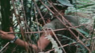 MONTAGE 101st Airborne Division company moving through jungle carrying M16 and M60 machine guns ammunition belts slung across soldier's torso /...
