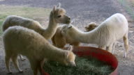 HD 1080i Alpacas Eating