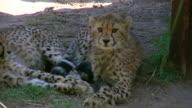 HD 1080i Cheetah 2
