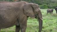 HD 1080i Elephants in South Africa 13