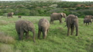 HD 1080i Elephants in South Africa 5