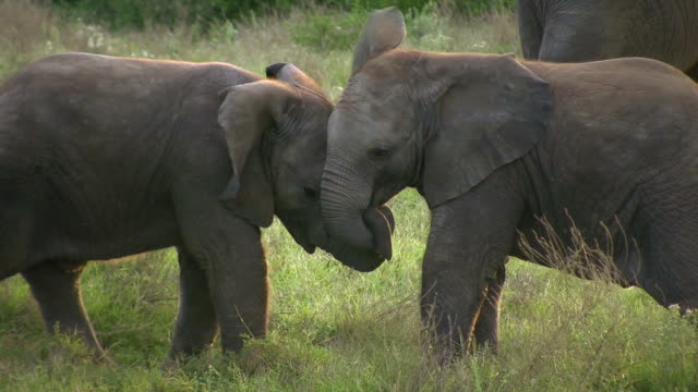 HD 1080i Elephants in South Africa 9