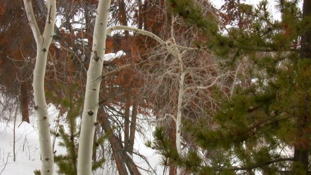 HD 1080 i Pine und Aspen Baum mit Schnee