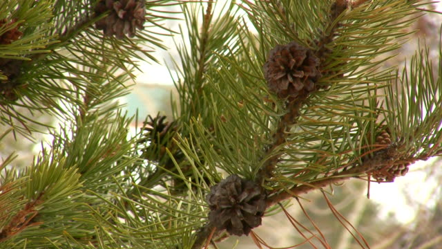 HD 1080i Pine Cone on Tree with Snow 2