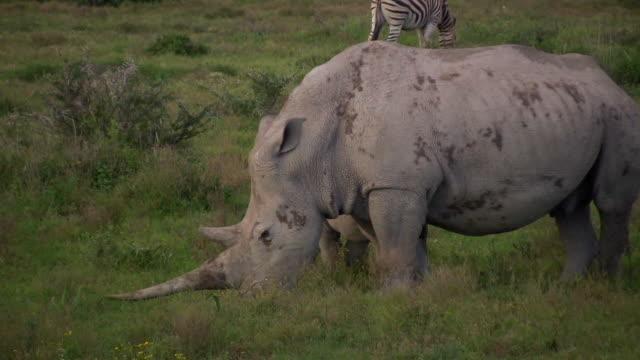 HD 1080i Rhinoceros 11