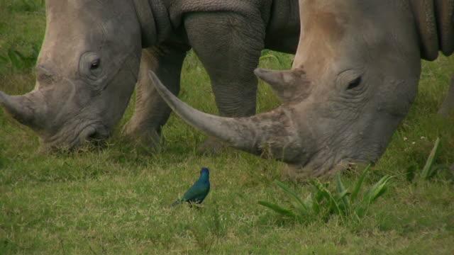 HD 1080i Rhinoceros 12
