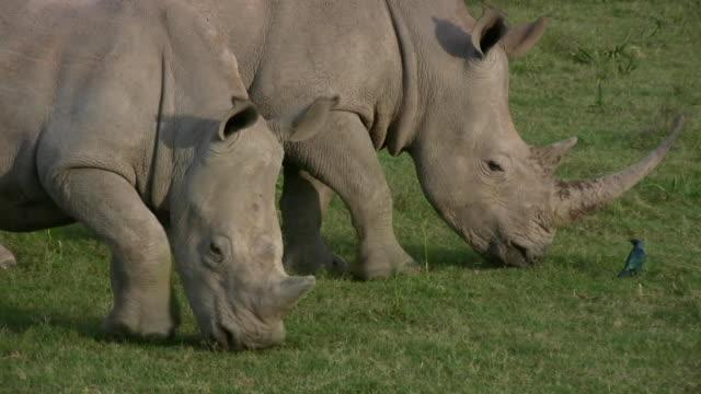 HD 1080i Rhinoceros 14