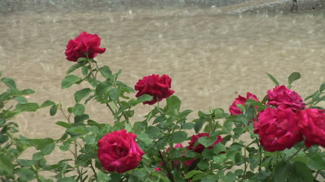 HD 1080i: Roses in Heavy Rain