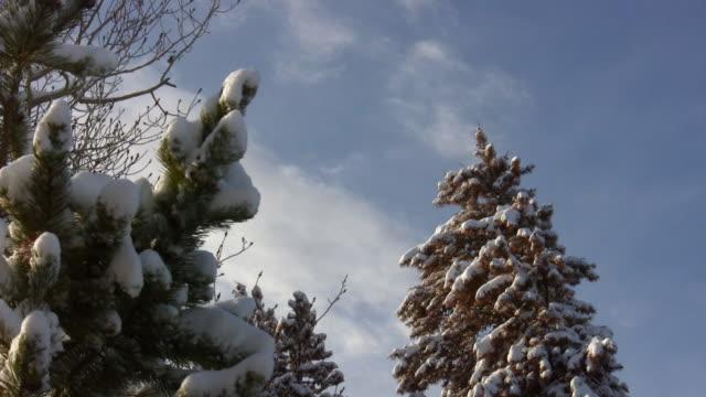 HD 1080i Snow covered Colorado Pine Trees