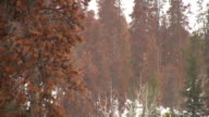 HD 1080i Snowing in Colorado Forest 2