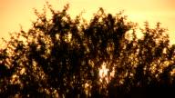 1080i Sunset through Acacia bush in South Africa