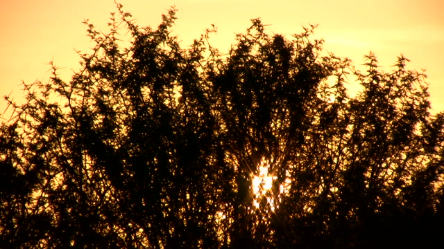 1080i Sunset through Acacia bush in South Africa